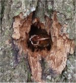 Carpenter_moth_hole