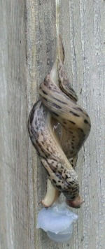 Limax1