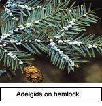 Adelgids