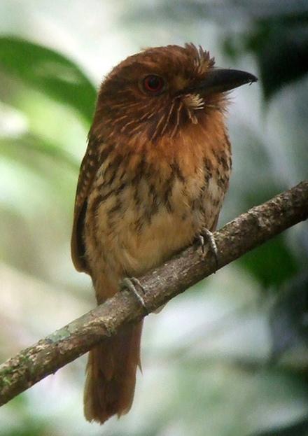 Wwpuffbird